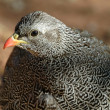 Natal francolin - Stock Photo