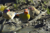Green-winged pytilia and two violet-eared waxbills — Stock Photo