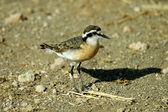 Kittlitz's plover — Stock Photo