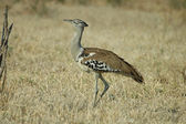 Kori bustard — Stock Photo