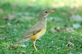 Kurrichane thrush — Stock Photo