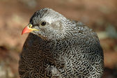 Natal francolin — Stock Photo