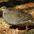Natal francolin — Stock Photo #4110912