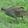 Red-billed francolin — Stock Photo #4112186