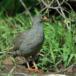 Red-billed francolin — Stock Photo