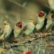 Stock Photo: Red-billed quelea