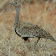 Red-crested korhaan — Stock Photo