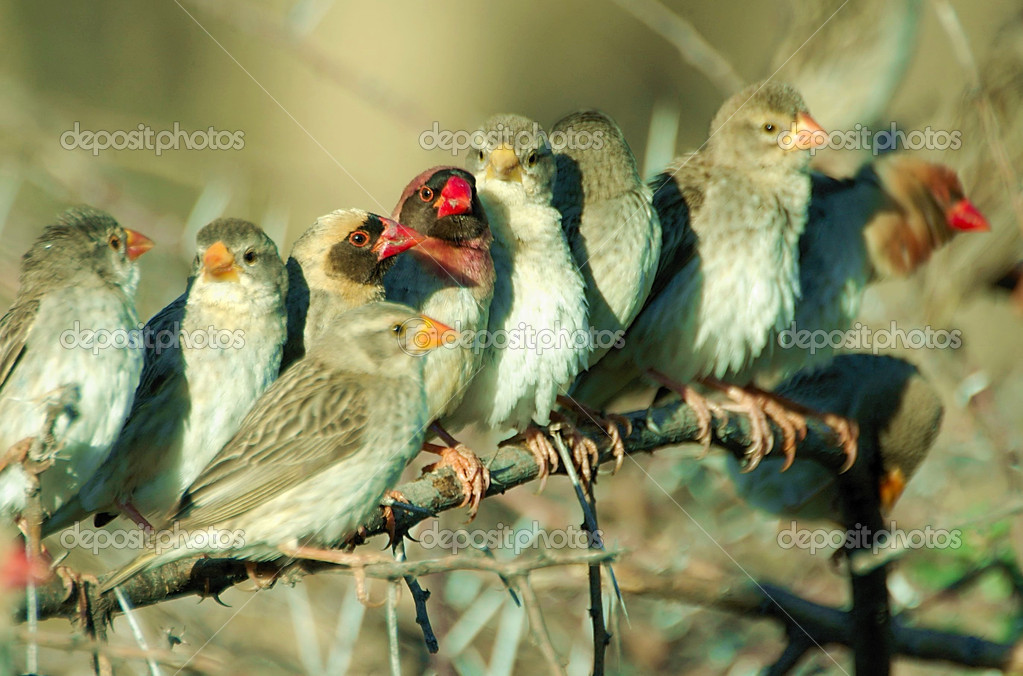 Group of red-billed quelea — Stock Photo #4113642