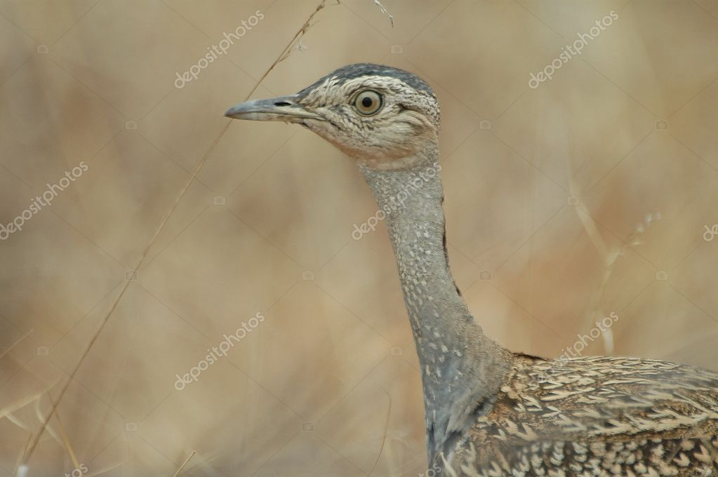 Red-crested korhaan, a common bird of the more arid parts of Southern Africa — Stock Photo #4113754