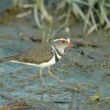 Three-banded plover — Stock Photo #4162118
