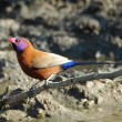 Violet-eared waxbill — Stock Photo