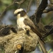 White-crowned shrike at nest — Stock Photo