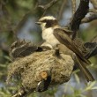 White-crowned shrike at nest with chics — Stock Photo