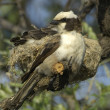 White-crowned shrike at nest — Stockfoto