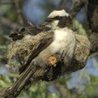 White-crowned shrike at nest — Stock Photo #4162362