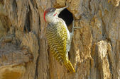 Golden-tailed woodpecker — Stock Photo