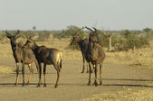 Small herd of Tsessebe in the road — Stock Photo