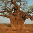 Baobab tree, Limpopo, South Africa — Stock Photo #4900966