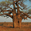 Large Baobab tree, Mapungubwe, South Africa — Stock Photo #4901011