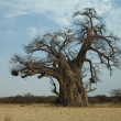 Baobab tree — Stock Photo #4901034
