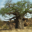Baobab tree, Mapungubwe National Park — Stock Photo #4901080