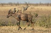 Tsessebe avec koudou en arrière-plan — Photo
