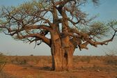 Large Baobab tree, Mapungubwe, South Africa — Stock Photo