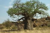 Baobab tree, Mapungubwe National Park — Stock Photo