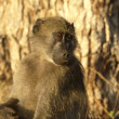 Mrs. Baboon — Stock Photo