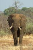 Bull elephant — Stock Photo