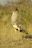 Kori bustard showing off — Stock Photo