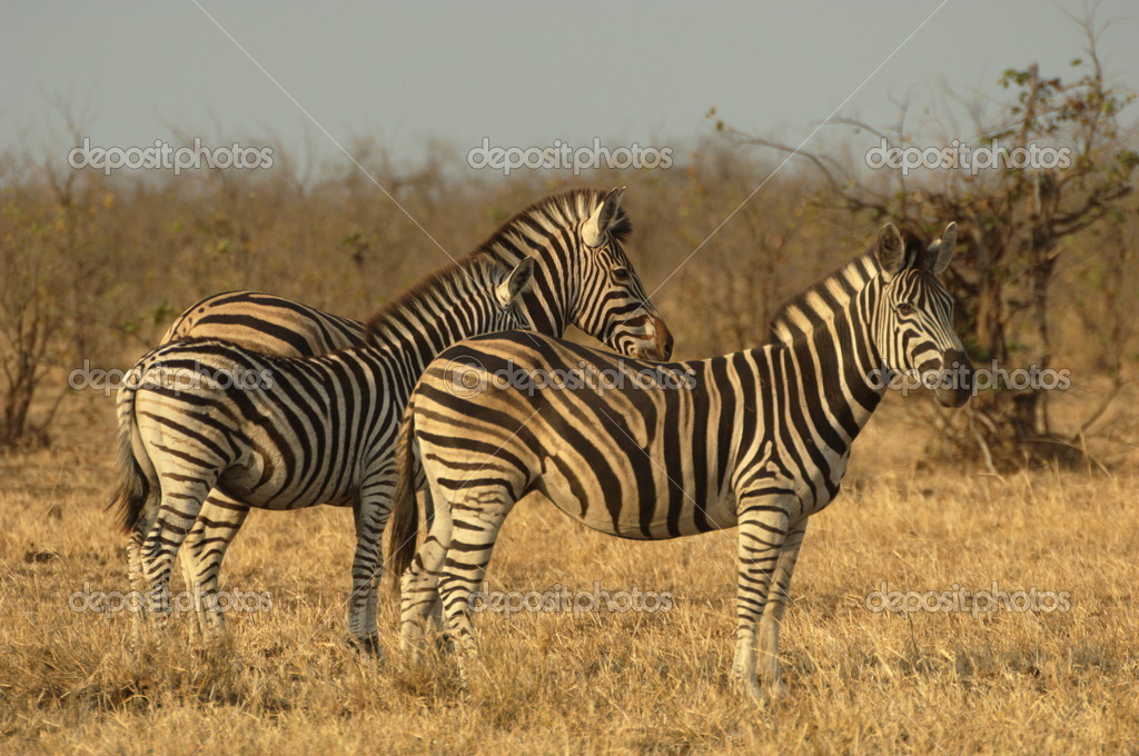 Chapman's zebra: mare with her foal and stallion — Stock Photo #5290184
