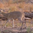 Klipspringer - Stock Photo