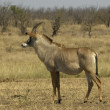 Roan antelope - Stock Photo