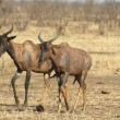Tsessebe antelope - Stock Photo