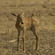 Baby tsessebe - Stock Photo