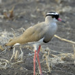 Stock Photo: Crowned lapwing