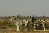 Zebra on the savannah — Stock Photo