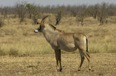 Roan antelope — Stock Photo