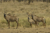 Small herd of roan antelope — Stock Photo