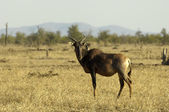 Lone tsessebe — Stock Photo