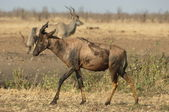 Tsessebe with kudu in the background — Stock Photo