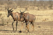 Tsessebe antelope — Stock Photo