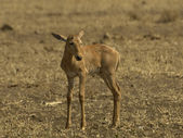Baby tsessebe — Stock Photo