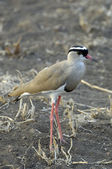 Crowned lapwing — Stock Photo