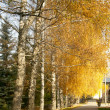 Yellow autumn birches along a path — Stock Photo