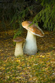 Autumn, mushrooms under a fur-tree in park — Stock Photo
