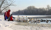 Swans and ducks on river in winter — Stock Photo