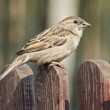 Sparrow on wooden fence — Stock Photo