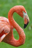 Flamingo profile — Foto Stock